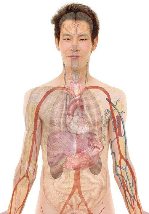A probable new organ has been discovered in the human body