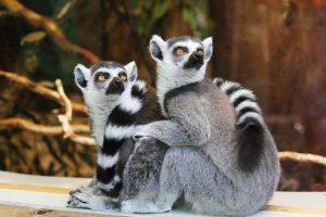 Eating less increased lifespan in primates (lemurs)