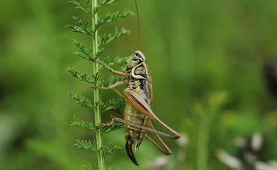 Eat crickets for better gut health: Clinical trial